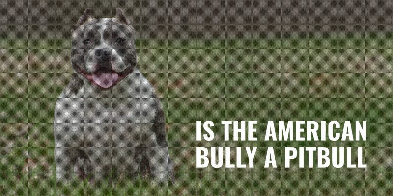 is the american bully a pitbull