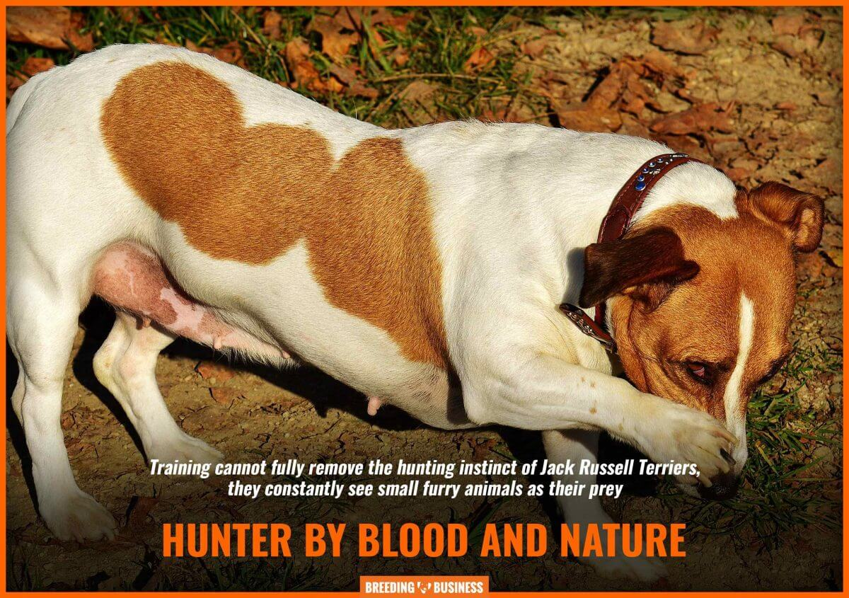 jack russell terriers as hunting dogs