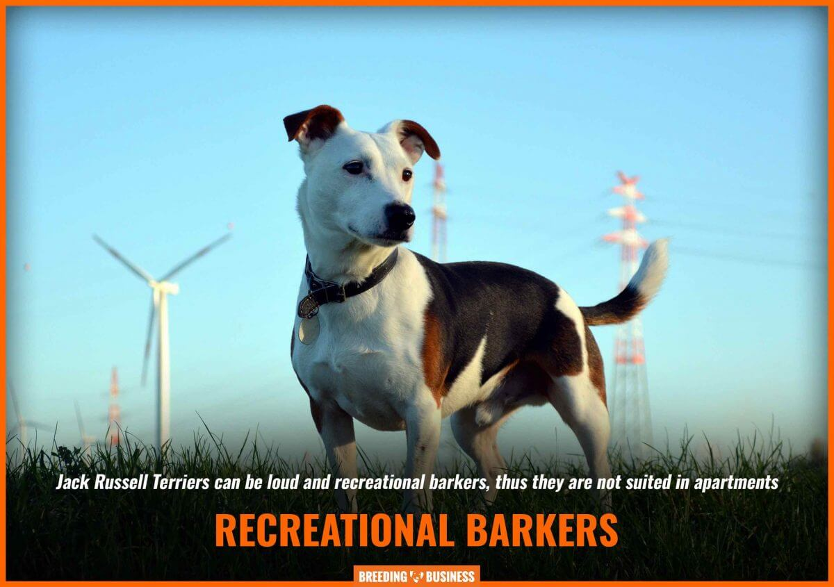 jack russell terriers are barkers