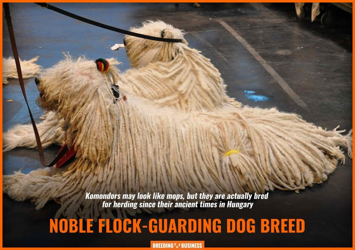 komondors as a flock-guarding breed