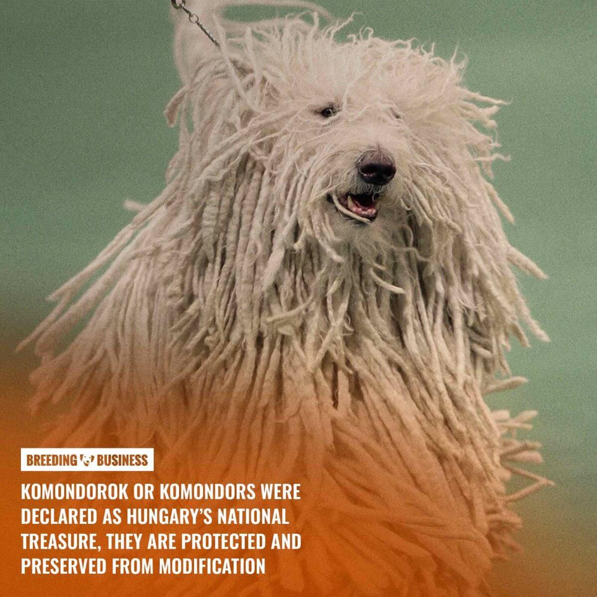komondor breed's hungarian origins