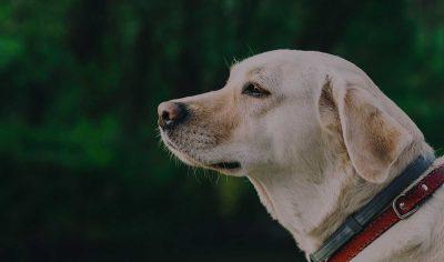 180+ Labrador Retriever Dog Names – Yellow, Chocolate & Black Lab Names!
