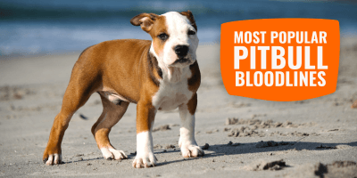 List of the Most Popular Pit Bull Bloodlines