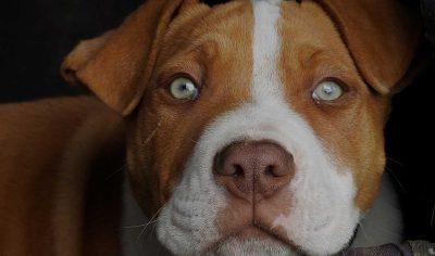 Pitbull Dog Names: 170+ Name Ideas for Pitbull Puppies!