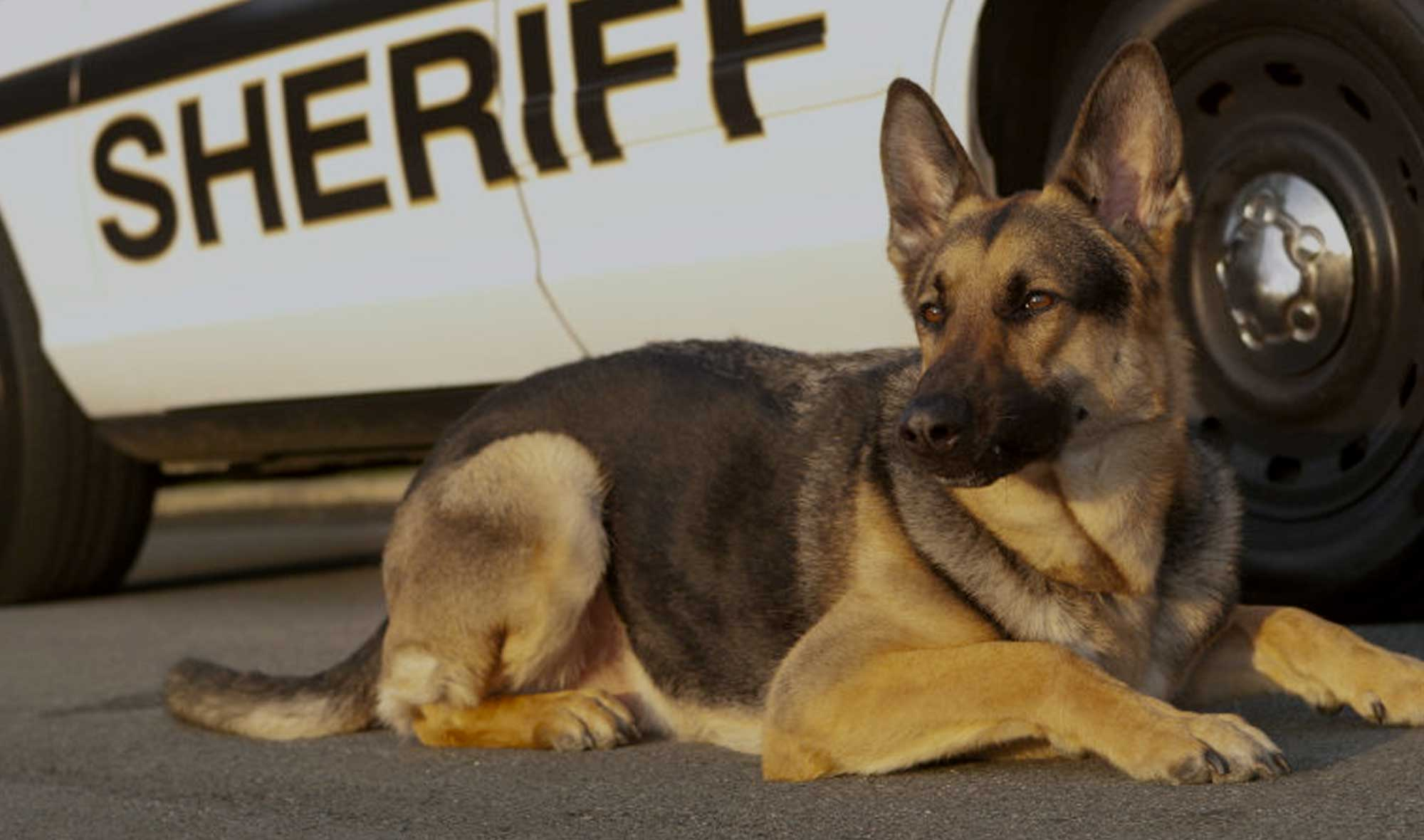 100+ Police Dog Names – Best K9 Military Puppy Names for Cop Dogs!
