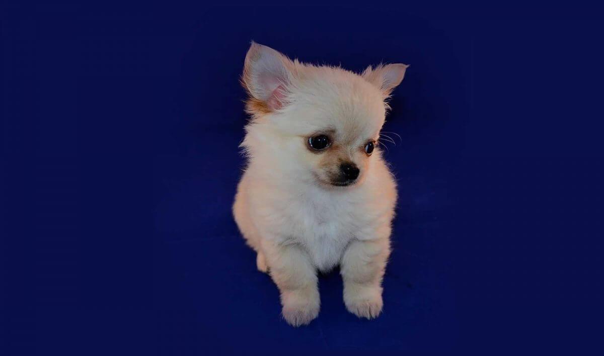 Short Dog Names 100 Teeny Tiny Puppy Name Ideas For Small Dogs