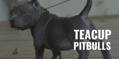 teacup pitbulls