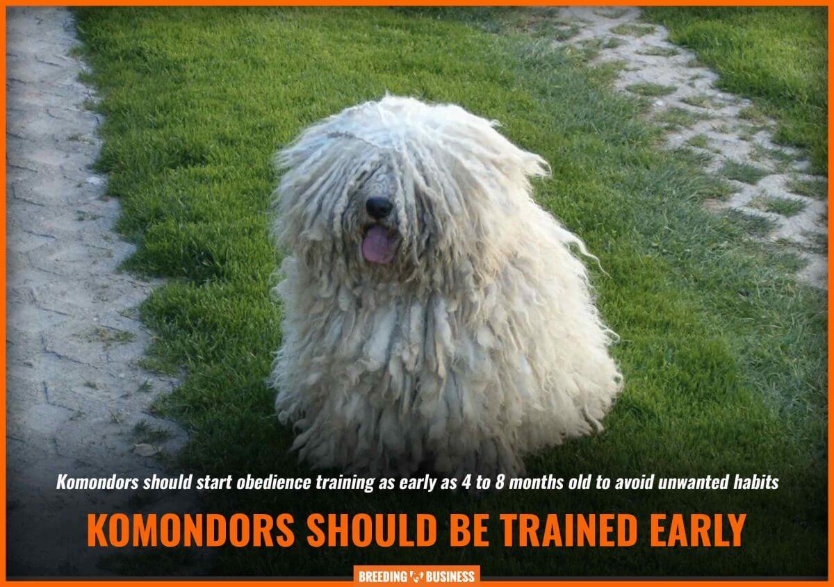 komondor training