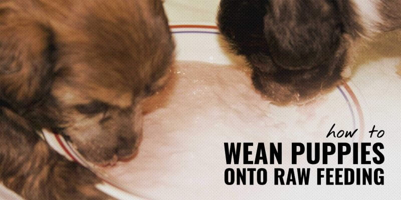 How to Wean Puppies onto a Raw Feeding Diet