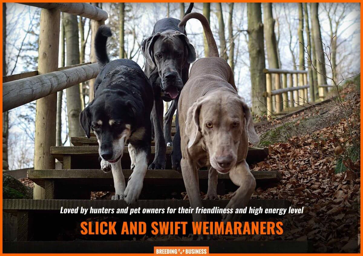 weimaraners as hunting dogs