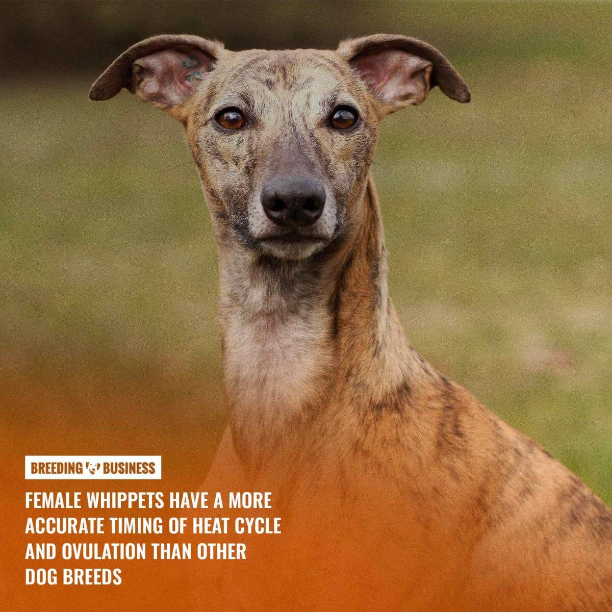 whippets heat cycles