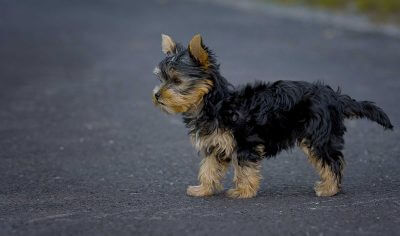 Yorkie Dog Names: 90+ Yorkshire Terrier Puppy Name Ideas for Males & Females