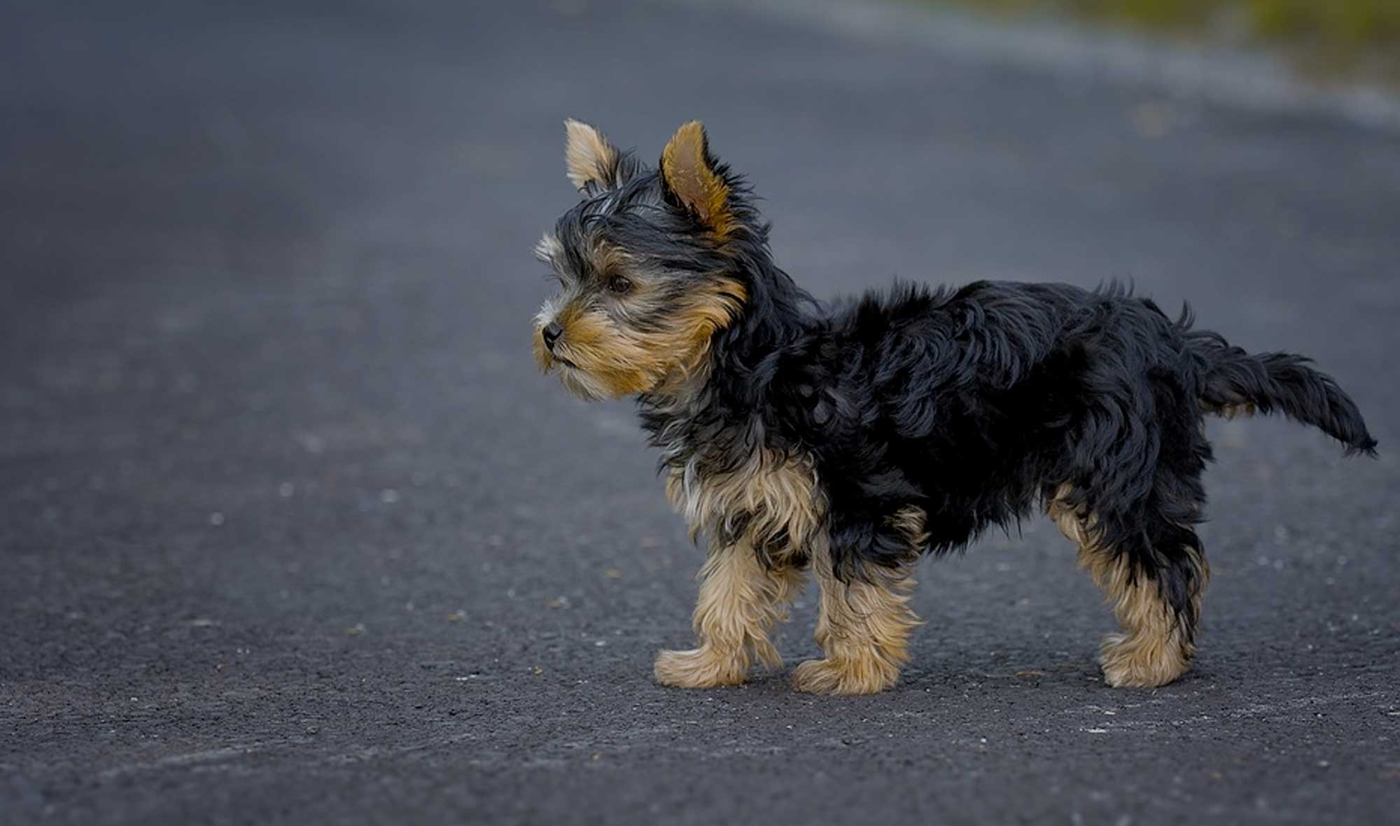 Yorkie Dog Names 90 Yorkshire Terrier Puppy Name Ideas