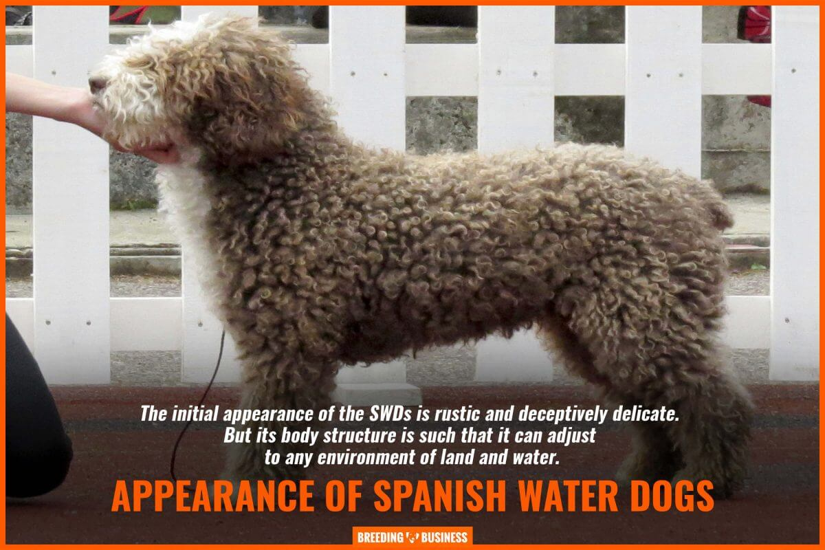 appearance of spanish water dogs