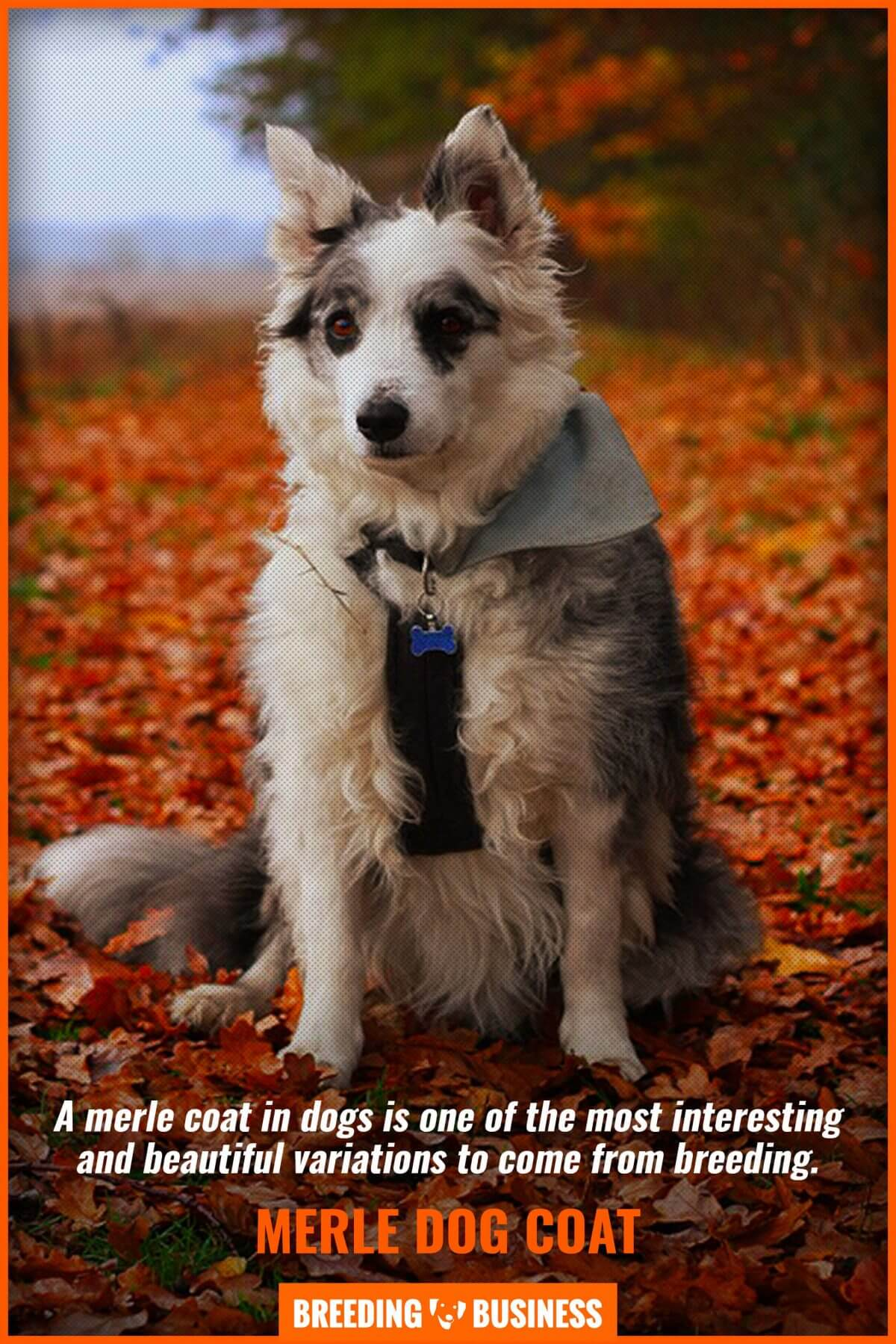 beauty of merle dogs