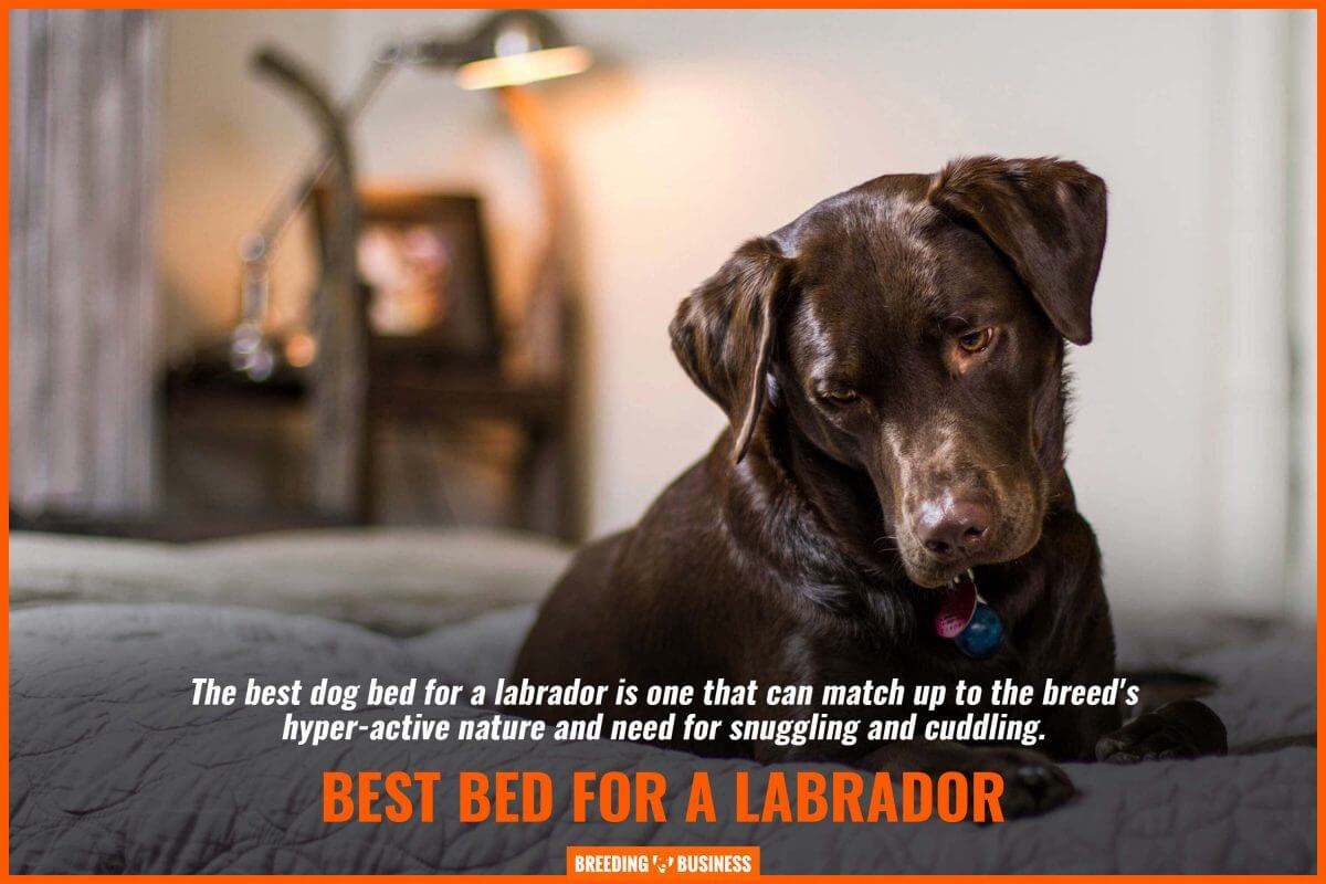 best bed-for a labrador