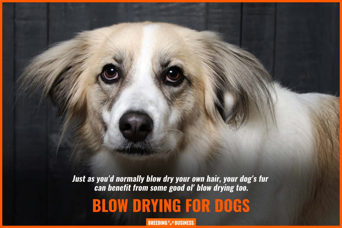 blow drying for dogs