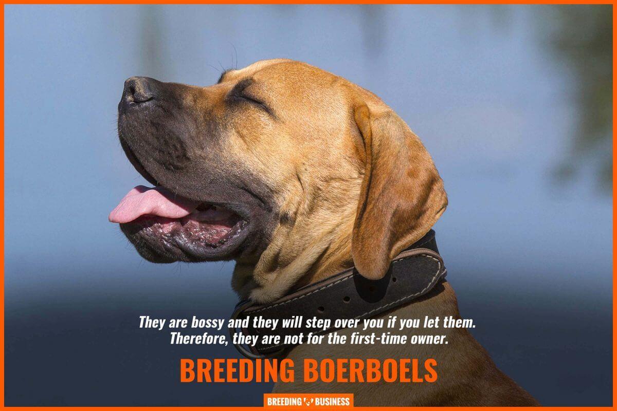 bossiness of boerboels