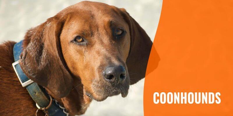coonhound dog breeds