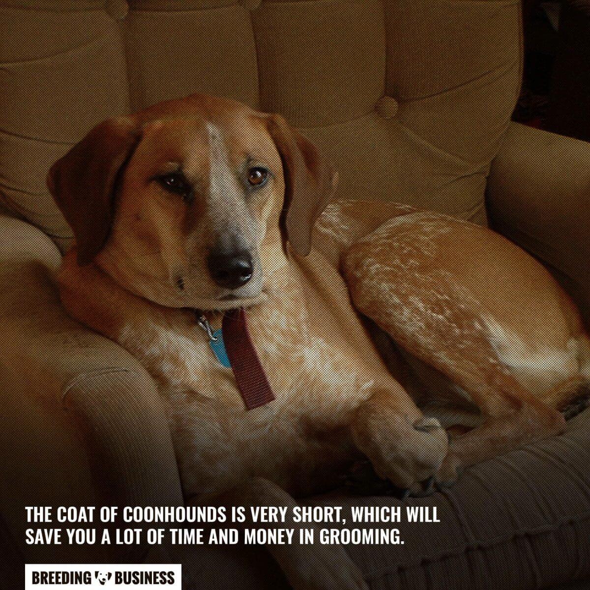 coonhound coat