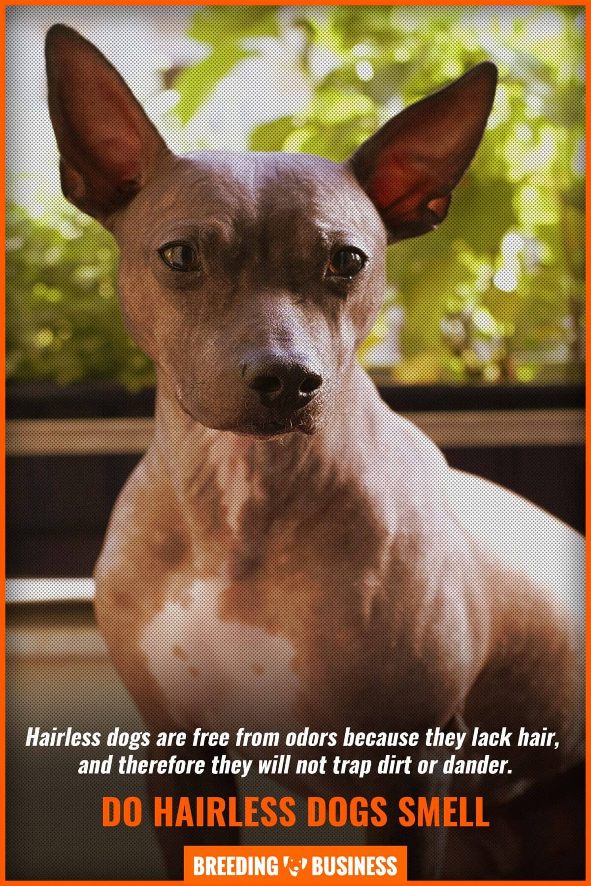 Do hairless dogs smell?
