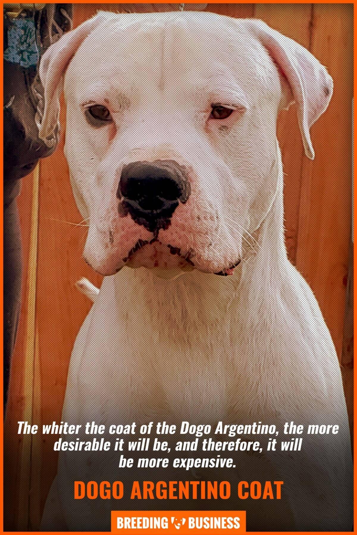 dogo argentino's white coat