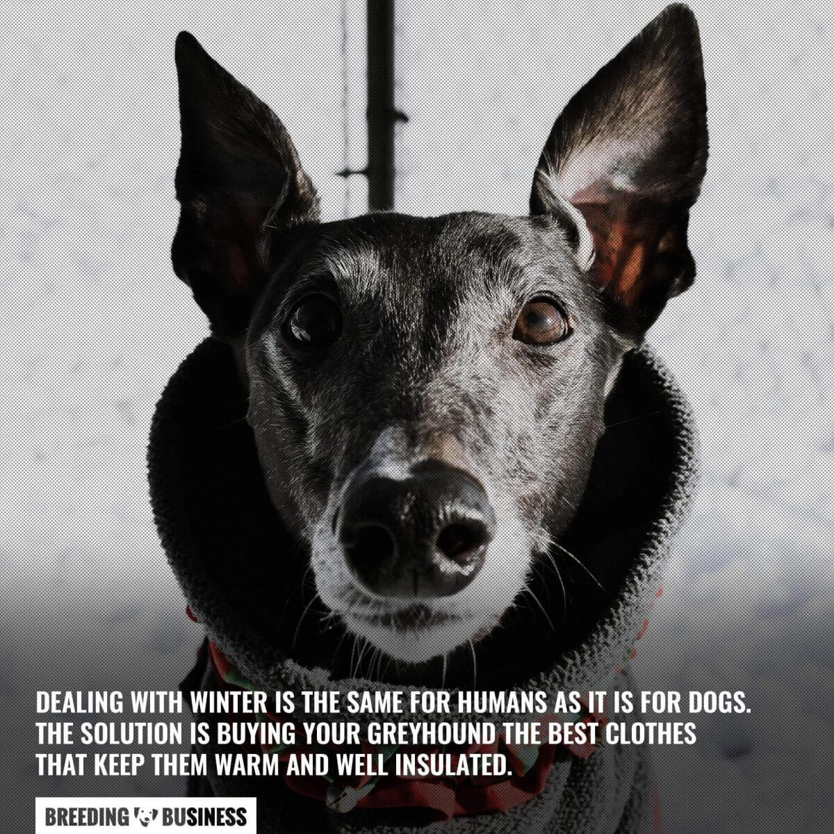 greyhound winter clothes