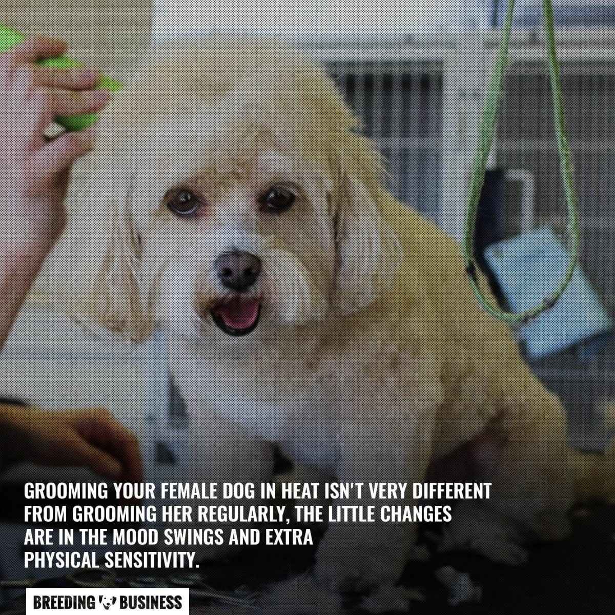 grooming female dog in heat with care