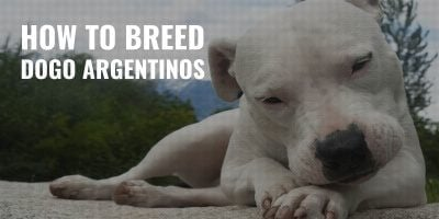 how to breed dogo argentinos