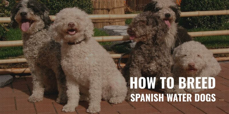 How To Breed Spanish Water Dogs