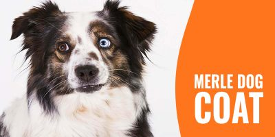merle dog and merle coat