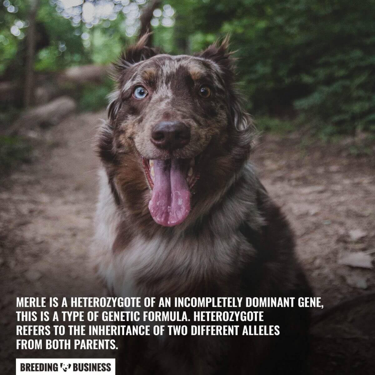 merle dog is a heterozygote trait (canine genetics)