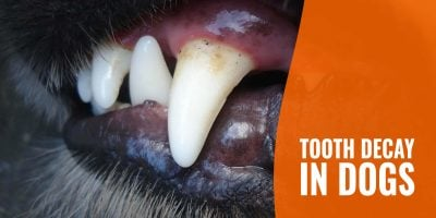 Tooth Decay In Dogs