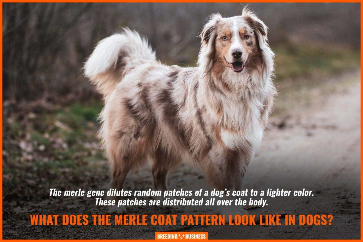 merle dog coat pattern