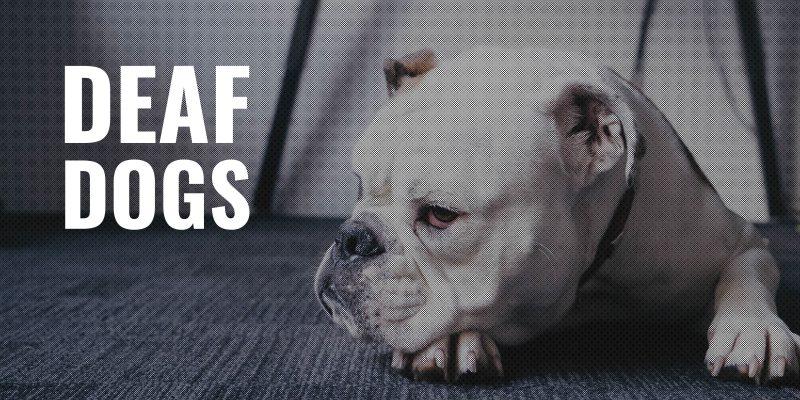 deaf dogs