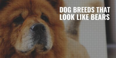 10 Dog Breeds That Look Like Bears – Chow Chow, Tibetan Mastiff & More