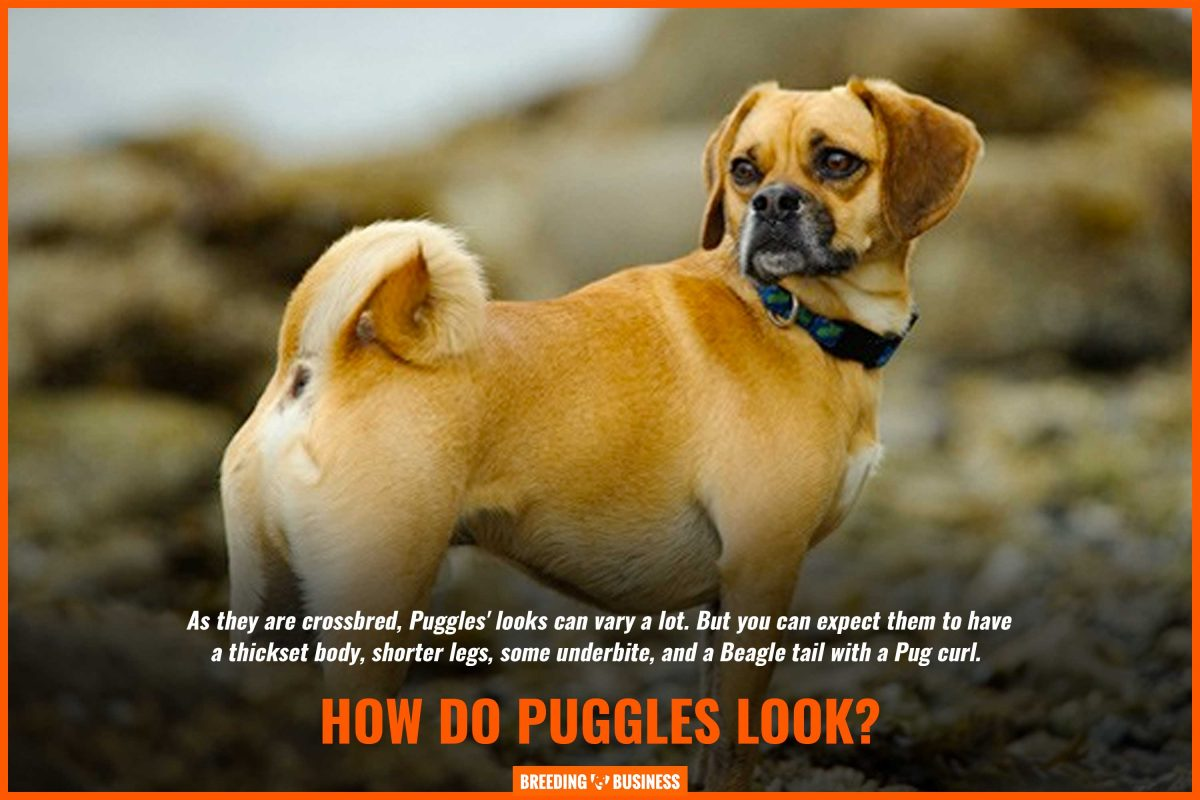 how do puggle dogs and puppies look