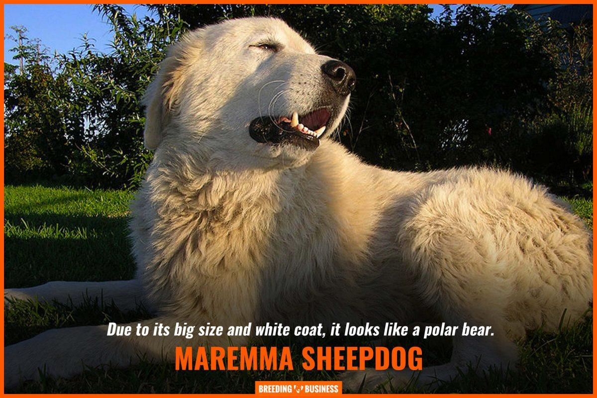 maremma sheepdogs look like polar bears