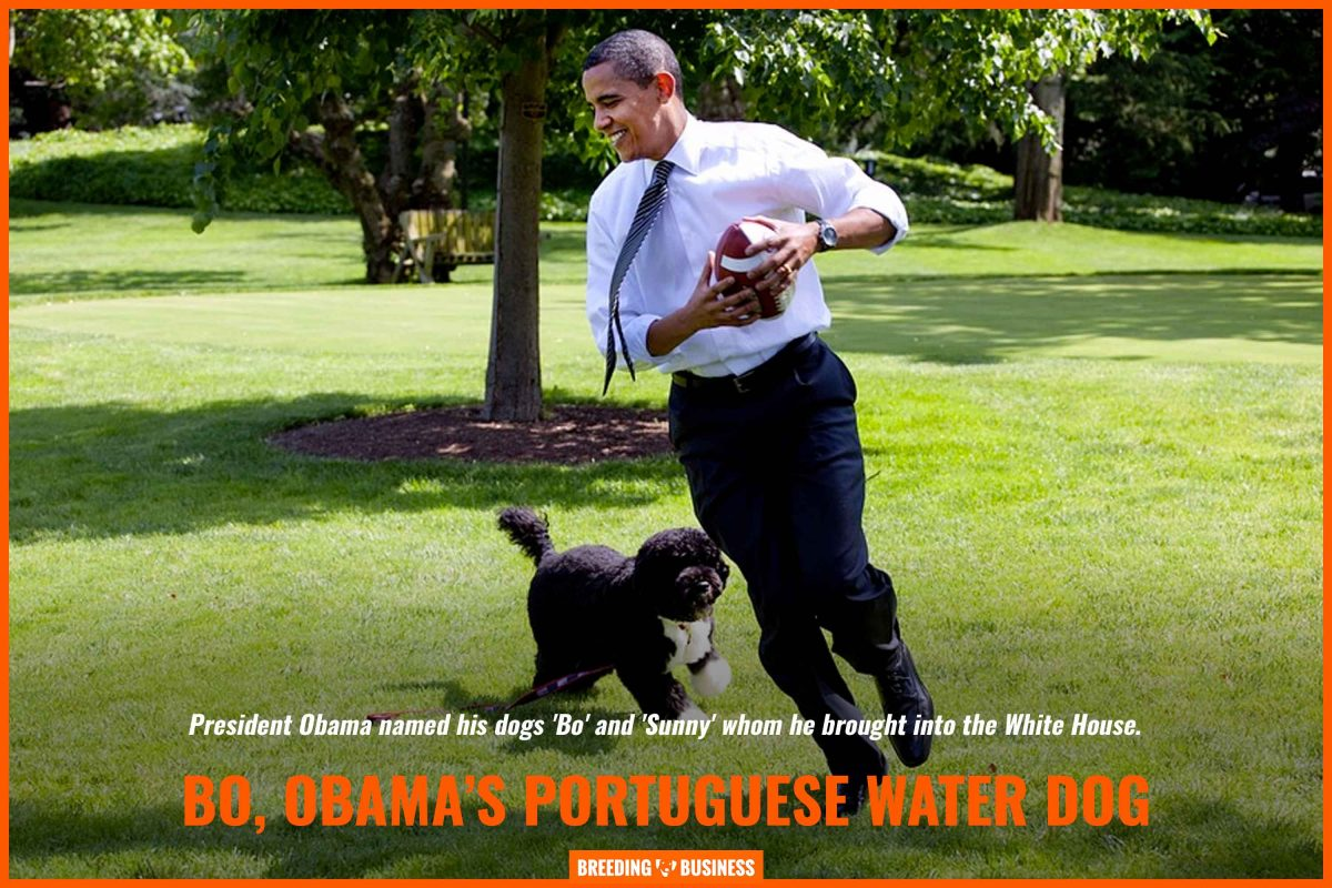 bo, portuguese water dog