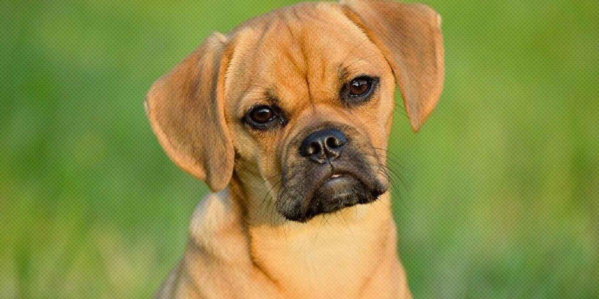 Puggle Breed Earance Temperament