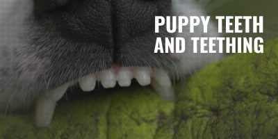puppy teeth and teething