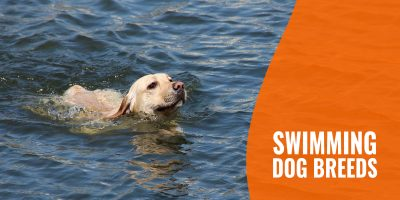 swimming dog breeds