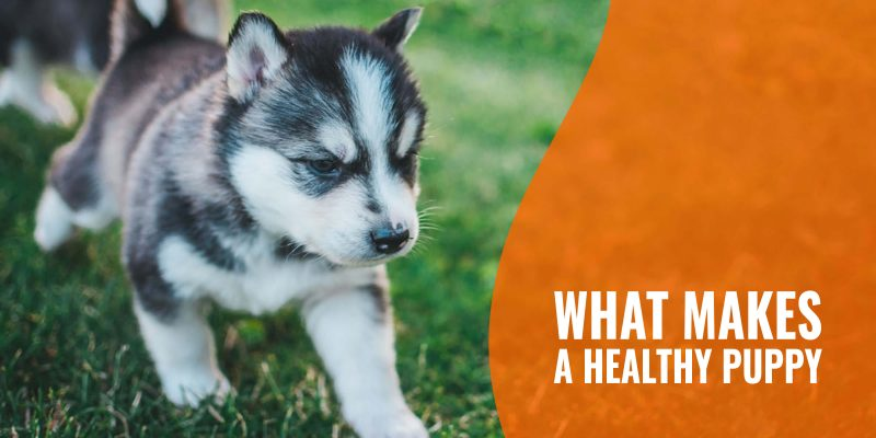 what makes a healthy puppy