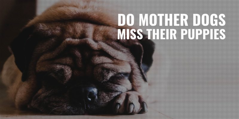 do mother dogs miss their puppies