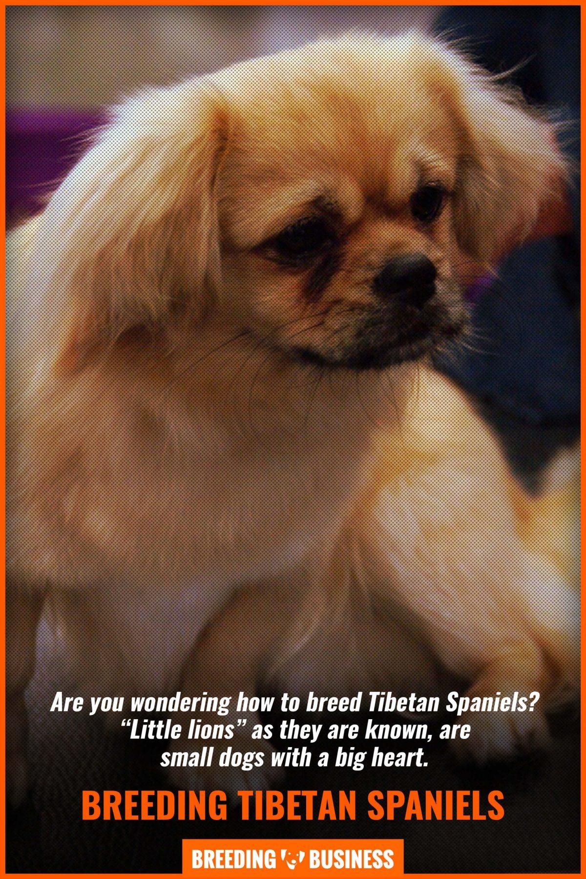breeding tibetan spaniels