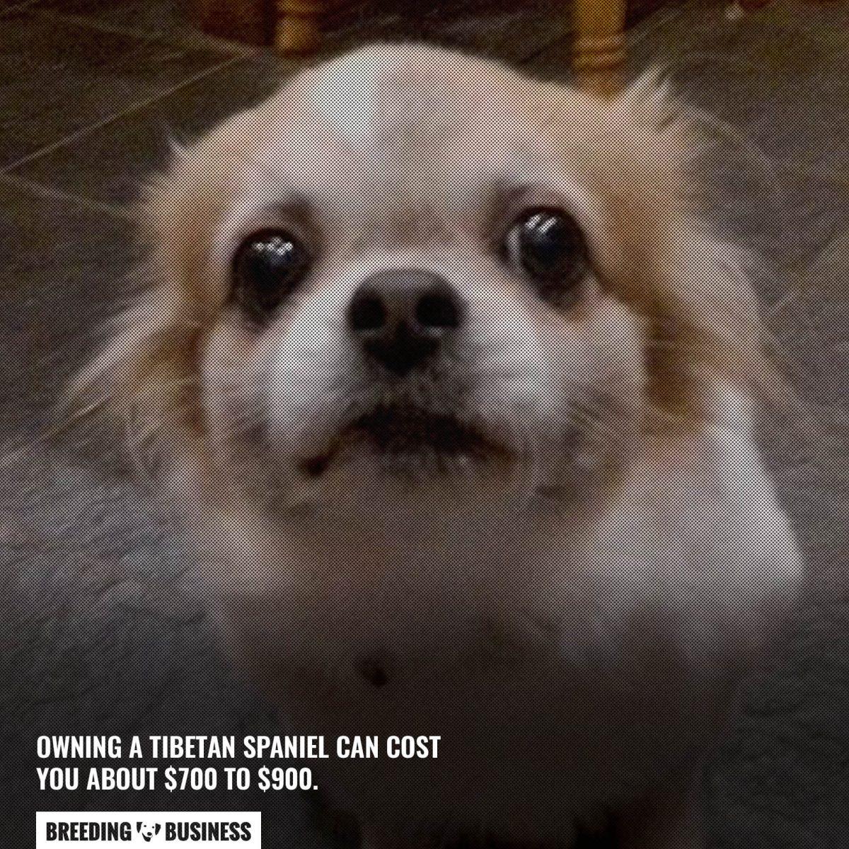 cost of tibetan spaniels