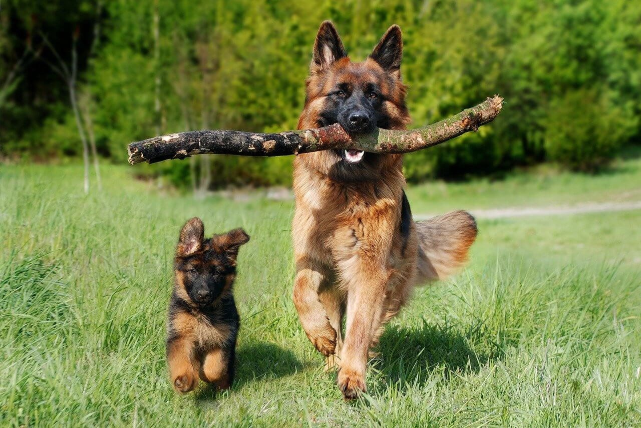 German Shepherd Dog Names A List Of 200 Names For Gsd Puppies