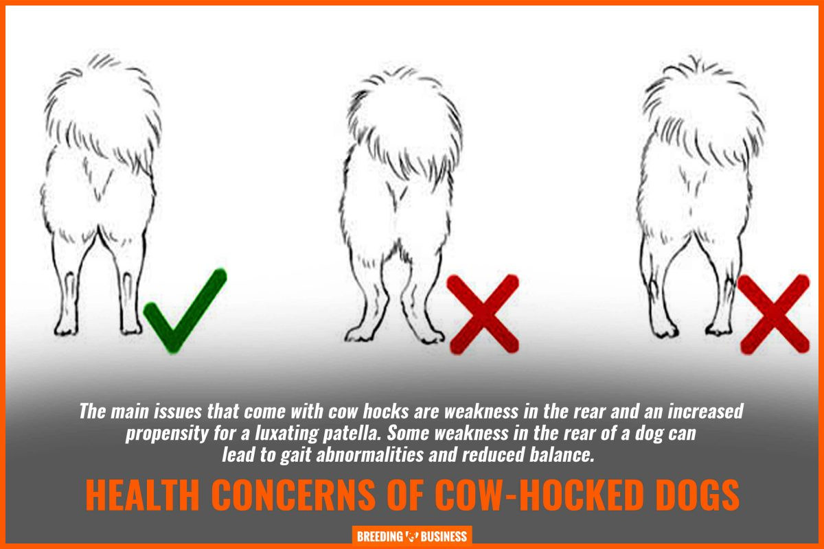 health concerns of cow hocked dogs