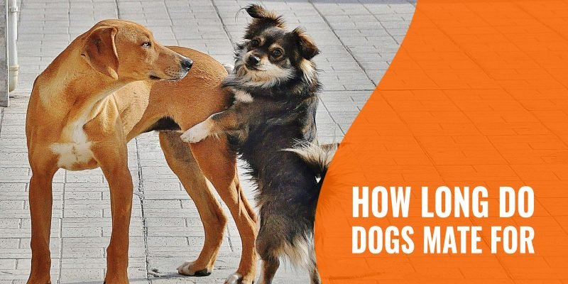 how long do dogs mate for