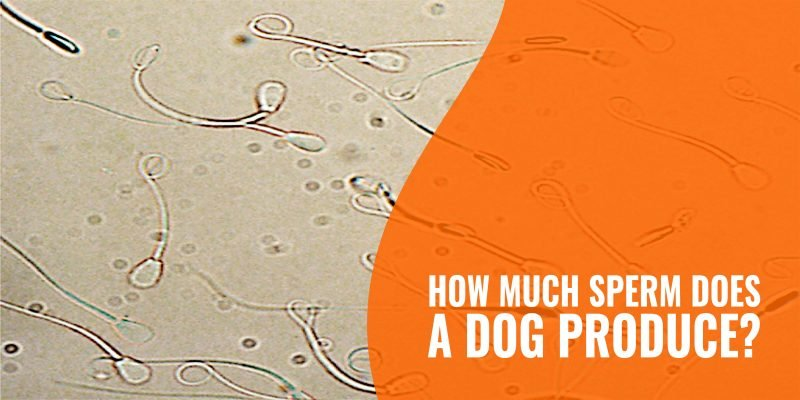 how much sperm does a dog produce